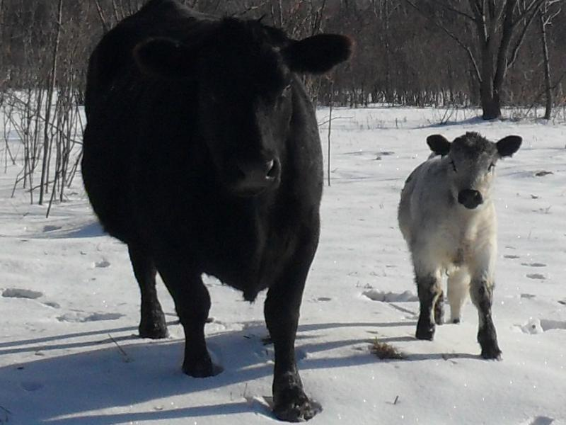 Angus White Galloway cross heifer with Angus dam
