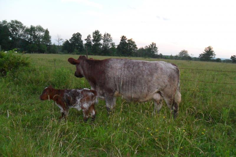 Roan shorthorn cow and calf