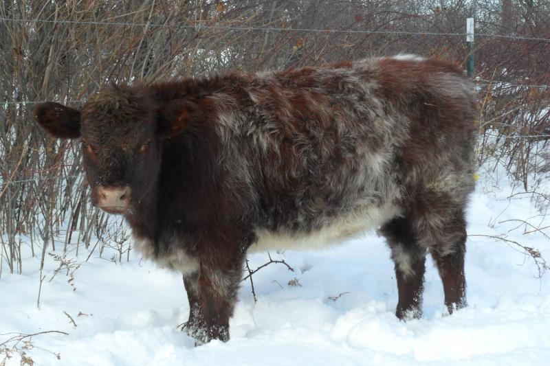 Amos sired Shorthorn heifer