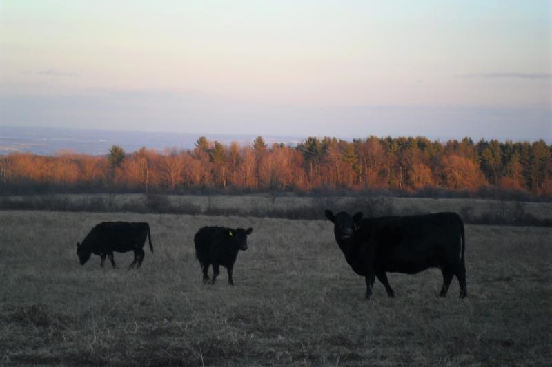 Wye infuenced Angus cows and heifers