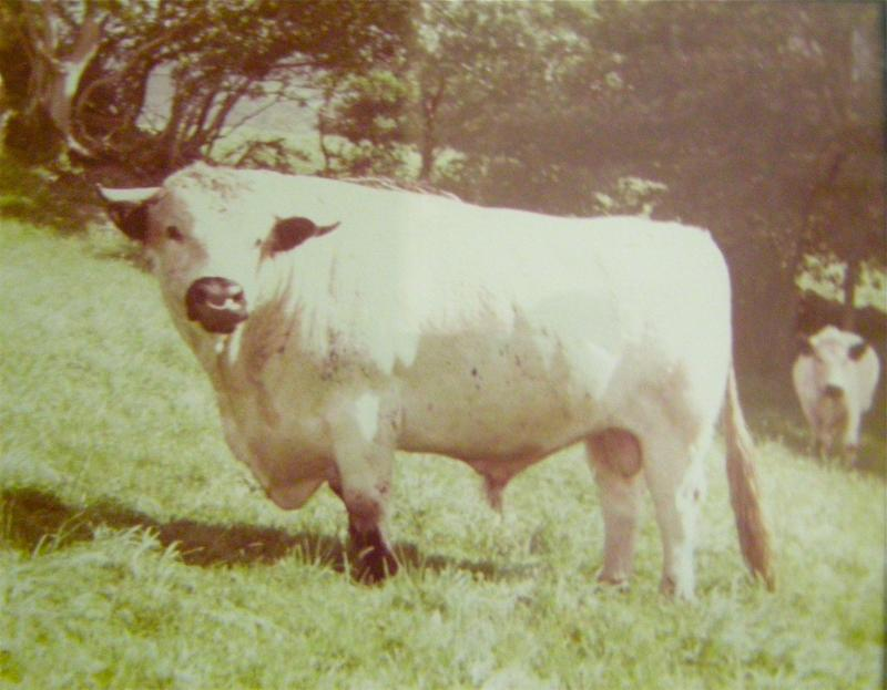 welsh white bull