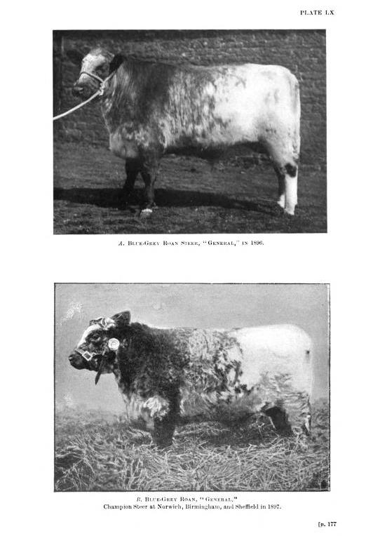 Blue grey galloway shorthorn cross