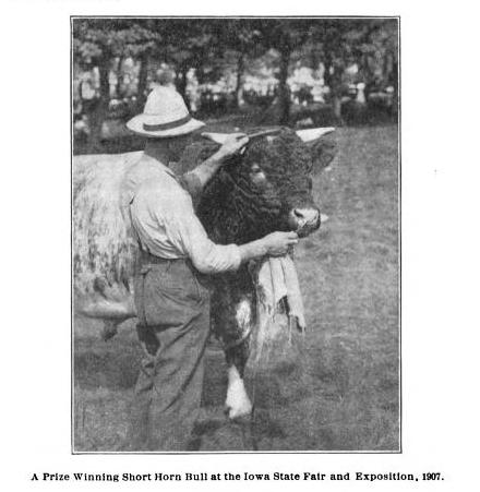 Shorthorn bull at Iowa state fair, 1907