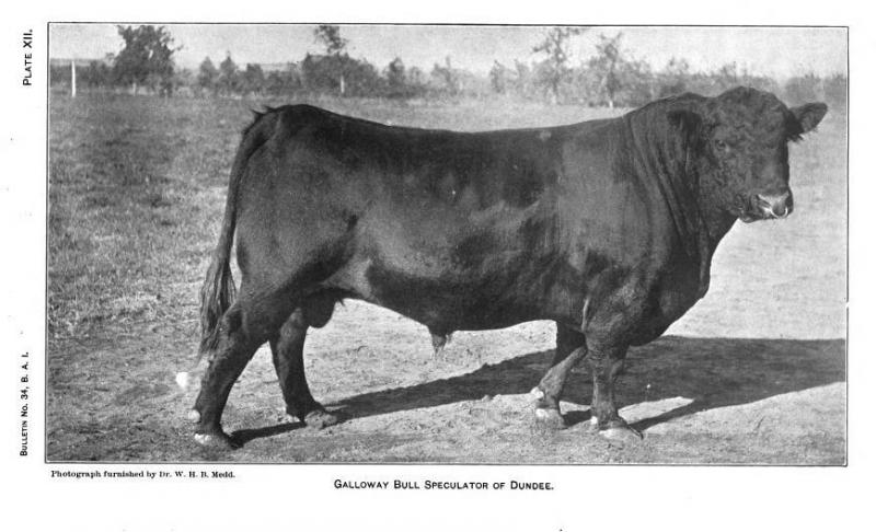 Galloway Bull, Speculator of Dundee