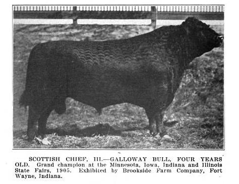 Galloway bull, Scottish Chief