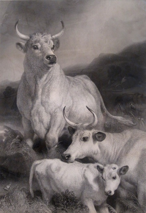 wild white cattle painting by Landseer