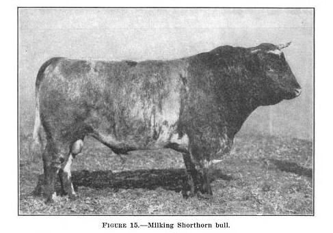 milking shorthorn bull from 1937