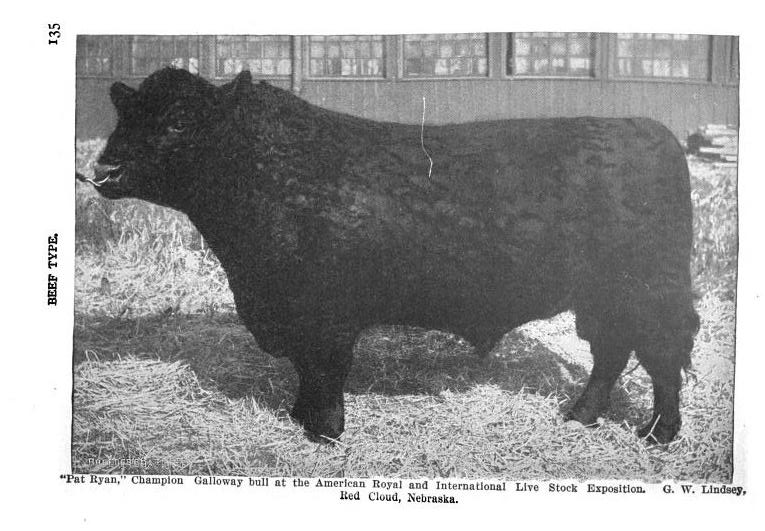 Galloway bull, Pat Ryan