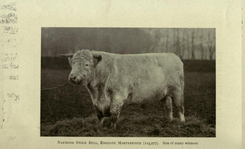 Edgcote Masterpice, Scotch Shorthorn bull