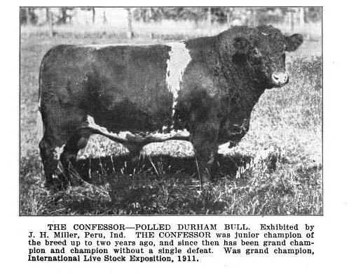 shorthorn bull, The Confessor