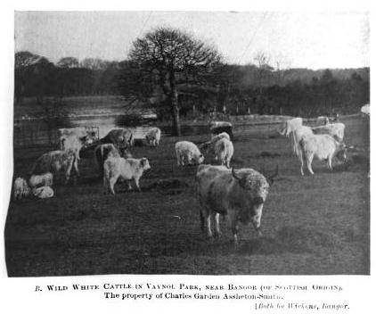 WILD WHITE CATTLE IN VAYNOL PARK