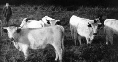 white welsh heifers, circa 1900