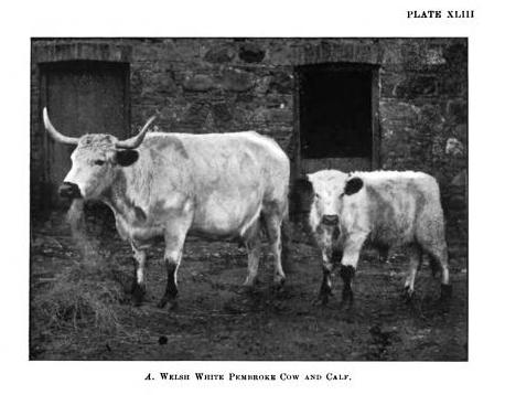 Pembroke White Welsh cow and calf